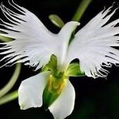 Прекрасные семена цветов Egret 100Pcs
