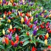 Многоцветный перец