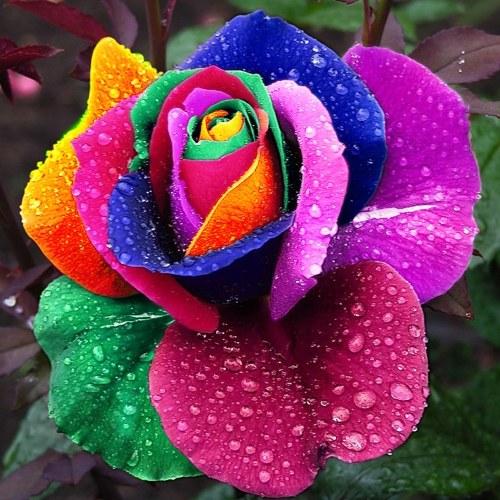 Yarda Decoración Linda Planta Multicolor Semillas de Rosas Todas Temporadas Jardín Balcón Flores