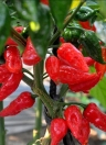 Bhut Jolokia Chili Seeds Ghost Pepper Super Hot Naga Jolokia Vegetables Home Garden Plant Seed