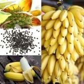 100xレアドワーフバナナツリーバルクシードミニ盆栽トロピカルフルーツ鉢植え