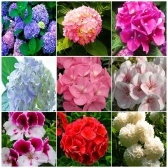 20pcs Hydrangea Seeds Bonsai Flower Seed