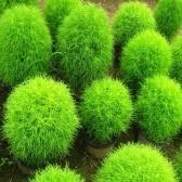 100 unids Hoja Verde / Hojas rojas Semillas Plantas aerobias Semillas de plantas en maceta