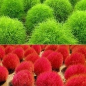 100pcs Green Leaf / Red Leaves Graines Plantes aérobies Graines de plantes en pot