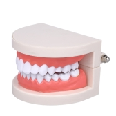 Стандартное зубное обучение Гигантская стоматологическая стоматология Модель зубов Модель детской бодибилдинга Болезни зубов Медицинская образовательная модель