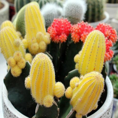 Follaje Planta Bola Cactus Suculentas Semillas Mezcla Color Embellecimiento Bonsai Inicio Espinosas Echinopsis Tubiflora Plantas de jardinería