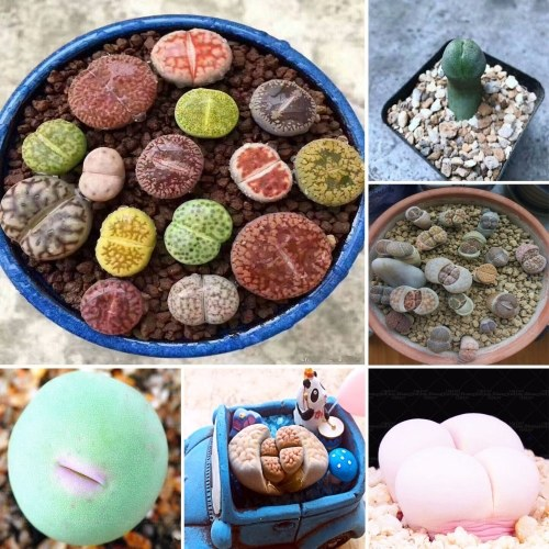 Lithops Pseudotruncatella Seeds Dasktop Green Plants Rare Potted Stone Succulentes Mixture Seeds