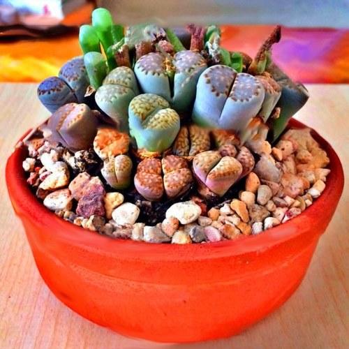 100 шт. Литопы Семена Pseudotruncatella Dasktop Зеленые растения Редкие горшечные камни Суккуленты Смесь семян