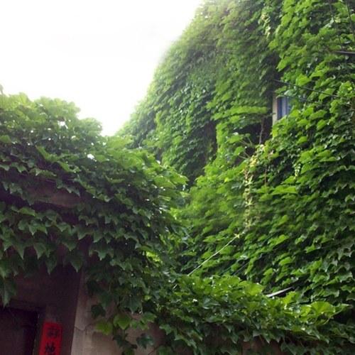 40pcs Семена / мешок Бостон Айви Вина Вирджиния Creeper Parthenocissus